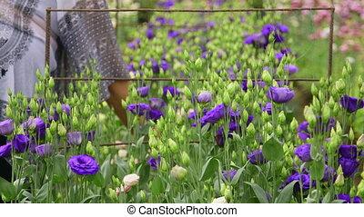 Alstroemeria in plant nursery - Female gardener working in a...