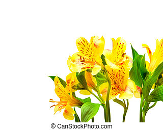 alstroemeria lily flowers isolated on white background
