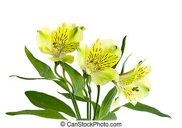 alstromeria, jaune