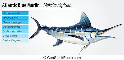 Altantic blue marlin