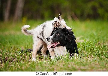 alter hund, rand- collie, und, junger hund, spielende