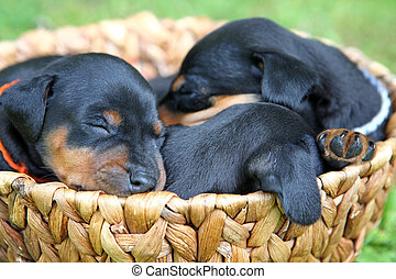altes, Monate,  1, Miniatur,  pinscher, hundebabys