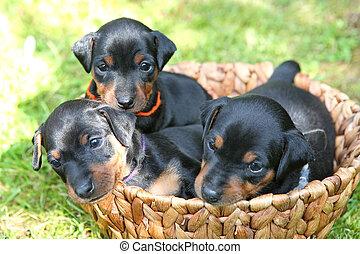 altes , monate, 1, miniatur, pinscher, hundebabys