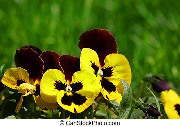 altfiol, tricolor, hortensis