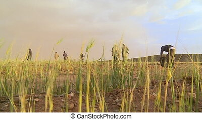 altiplano, cultivé, bolivie, terrains agricoles