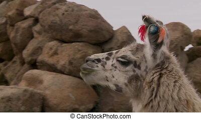 altiplano, figure, white-spotted, bolivie, lama