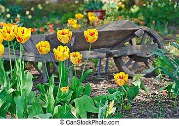 altmodisch, schubkarren, und, tulpenblüte