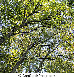 alto, árboles caducos, en, caduco, bosque