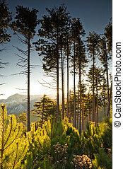 alto, árboles de pino, en, amanecer