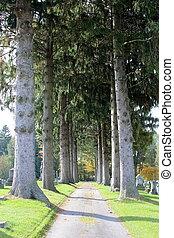 alto, árvores pinho, em, a, cemitério