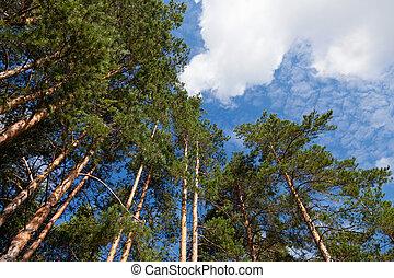 alto, árvores pinho, em, a, floresta