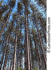 alto, árvores pinho, saída, em, a, madeiras