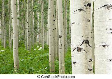 alto, blanco, bosque álamo temblón, árboles