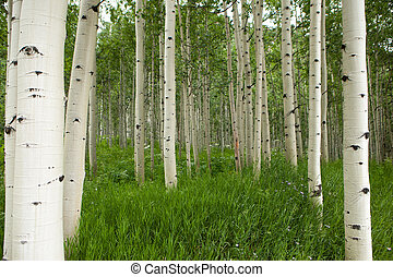 alto, branca, floresta álamo tremedor, árvores
