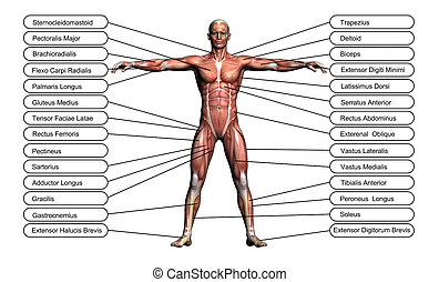 alto, concepto, anatomía, humano, conceptual, resolución, o...