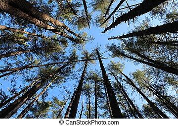 alto, deslumbrante, árvores pinho, em, floresta