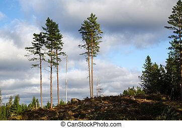 alto, grupo, árvores pinho