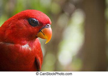 alto, perched, foresta pluviale, rosso, lorikeet