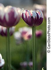 alto, rembrandt, tulipa