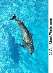 alto, turchese, angolo, delfino, acqua, solo, vista