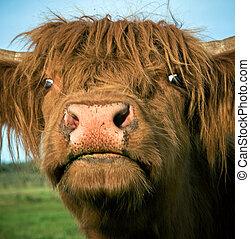 altopiano, mucca, scozzese