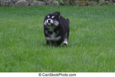 alusky, junger hund, hund, rennender , an, voll, geschwindigkeit
