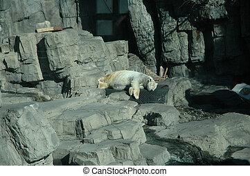 alvás, jegesmedve