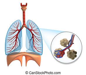 alvéolos, em, pulmões