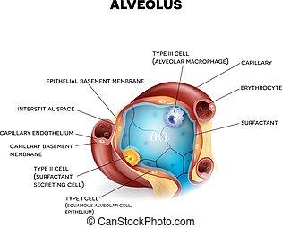 alveolar, koerperbau, erythrocytes, alveole, kapillaren, zellen, innenseite, drei, luft, closeup, arten