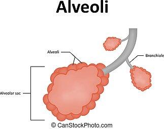 alveolar, saco, pulmón, alveoli