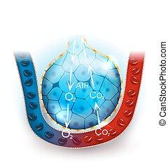 alveoli, 呼吸, 解剖学