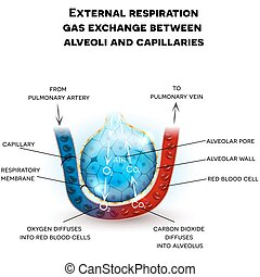 Alveoli anatomy, respiration - Alveoli anatomy, external ...