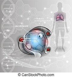 alveoli, respiración, anatomía
