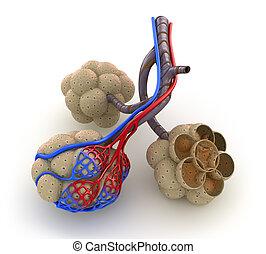 alveoli, sangre, -, oxígeno, pulmones