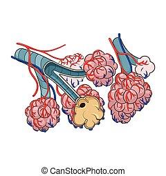 alveoli, vector, ilustración