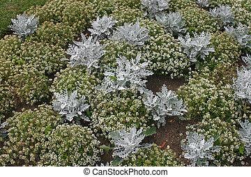 Alyssum and Senecio bedding plants