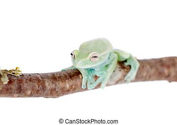 Alytolyla treefrog on white - Alytolyla treefrog,...