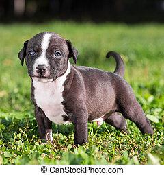 américain, chiot, terrier, staffordshire