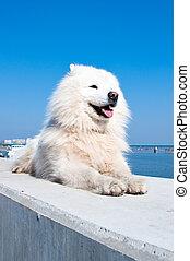 américain, esquimau, samoyed, chien