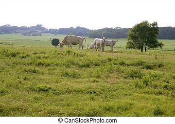 américain, herbe, vert, vache, bétail