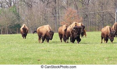 américain, troupeau, bison, pâturage, marche, buffle, herbe