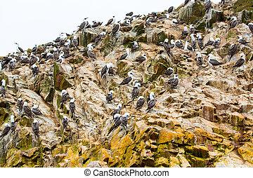 amérique, aquatique, oiseaux mer, coquillage, péruvien, fish, pérou, côte, galapagos., islands.this, réservation, ballestas, chasseurs, oiseaux, national, paracas