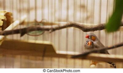 amadines, cage