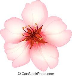 amande, fleur, isolé