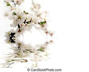 amandel, bloem, met, reflectie