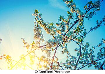 amanhecer, em, florescer, crone, de, árvore cereja, instagram, stile