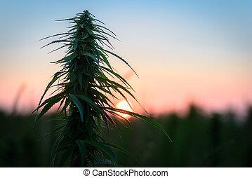 amanhecer, marijuana, contra