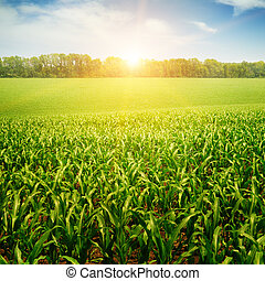 amanhecer, sobre, a, campo milho