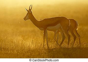 amanhecer, springbok