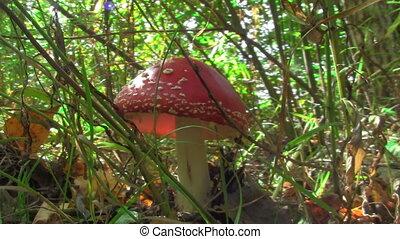 amanita - beautiful and poisonous mushroom
